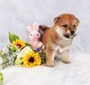 Shiba Inu Puppy For Sale in ARCADIA, CA, USA