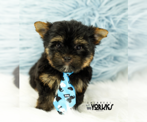Yorkshire Terrier Puppy for Sale in KELLER, Texas USA