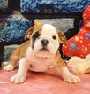 Bulldog Puppy For Sale in CHICAGO, IL