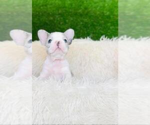 French Bulldog Puppy for sale in RICHMOND, TX, USA