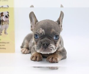 French Bulldog Puppy for sale in DES MOINES, IA, USA