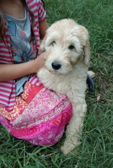 Labradoodle Puppy For Sale in CORNING, CA, USA