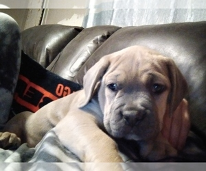 Cane Corso Puppy for sale in MEDARYVILLE, IN, USA