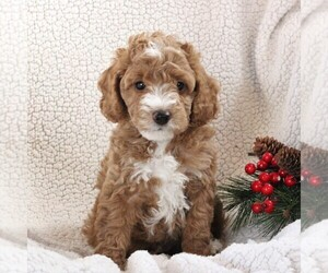 Poodle (Miniature) Puppy for sale in STEVENS, PA, USA