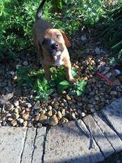 Boxer-Doberman Pinscher Mix Puppy For Sale in NASHVILLE, TN