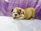 English Bulldogge Puppy For Sale in TAMPA, FL, USA