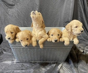 Goldendoodle Puppy for Sale in TROPIC, Utah USA