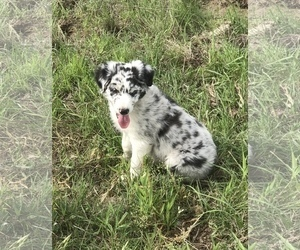 Australian Shepherd Puppy for Sale in CAT SPRING, Texas USA