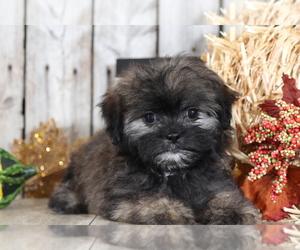 Shih Tzu-Silky Tzu Mix Puppy for sale in MOUNT VERNON, OH, USA