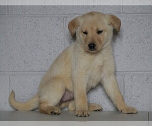 Shepradors Puppy for sale in FREDERICKSBG, OH, USA