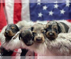 Dachshund Puppy for sale in ABBEVILLE, LA, USA