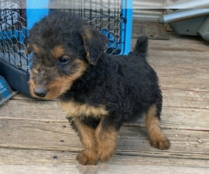 Airedale Terrier Puppy for sale in CRANE, MO, USA