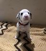 Small #11 Dalmatian