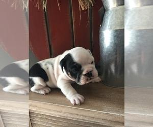 Medium English Bulldogge
