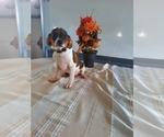 Puppy 1 Cavalier King Charles Spaniel-Rat Terrier Mix