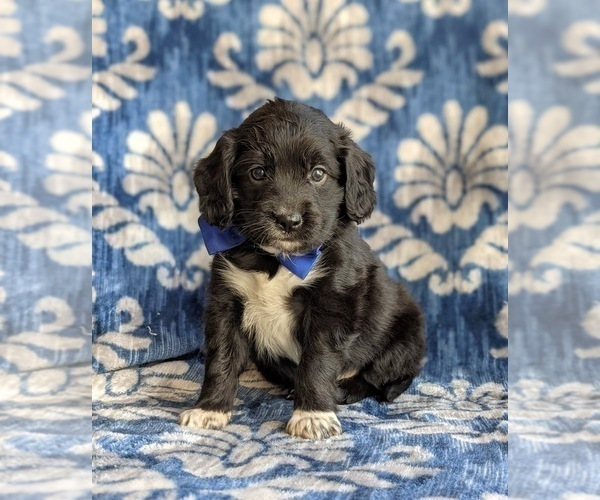 Medium Photo #3 Cocker Spaniel-Unknown Mix Puppy For Sale in CHRISTIANA, PA, USA