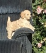 Goldendoodle Puppy For Sale in WESTON, OR,
