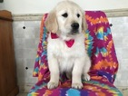 Golden Retriever Puppy For Sale in PEACH BOTTOM, PA,