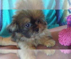 Pom-Shi-Pomeranian Mix Puppy for sale in CHICAGO, IL, USA