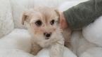 Maltipom Puppy For Sale in LA MIRADA, CA, USA