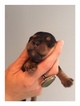 Yorkshire Terrier Puppy For Sale in HASKELL, OK, USA