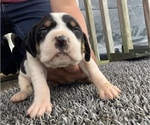 Puppy 0 Coonhound