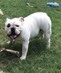 Bulldog Puppy For Sale in ALLEN, TX,