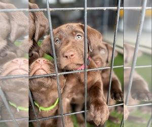 Labrador Retriever Puppy for sale in AROMAS, CA, USA