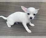Puppy 5 Chihuahua