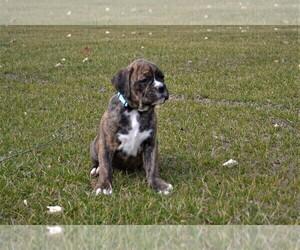 Boxer Puppy for sale in GOSHEN, IN, USA