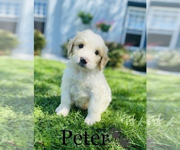 Medium Photo #10 Saint Bernard Puppy For Sale in COOKEVILLE, TN, USA