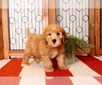 Small Photo #4 Goldendoodle Puppy For Sale in NAPLES, FL, USA