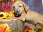 Australian Cattle Dog-Unknown Mix Puppy For Sale in HAMMOND, IN, USA