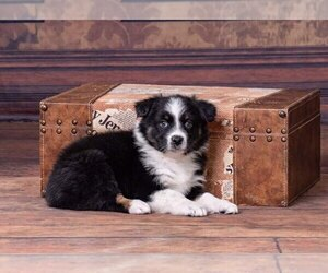 Australian Shepherd Dog for Adoption in ROBERTS, Illinois USA