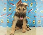 German Shepherd Dog Puppy For Sale in SHAWNEE, OK, USA