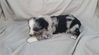 Australian Shepherd Puppy For Sale in BERTHOUD, CO, USA