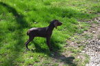 German Shorthaired Pointer Puppy For Sale in NORTH OLMSTED, Ohio,