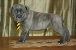 Cane Corso Puppy For Sale near 44064, Montville, OH, USA