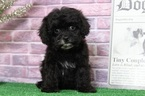 Bowie Glamorous Black Female Puppy
