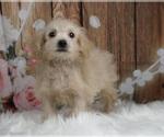 Puppy 7 Maltipoo