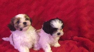 View Ad Mal Shi Puppy For Sale Near California Homeland Usa Adn