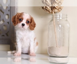 Cavalier King Charles Spaniel Dog for Adoption in MOUNT VERNON, Ohio USA