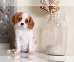 Cavalier King Charles Spaniel Puppy For Sale in MOUNT VERNON, OH, USA