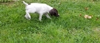German Shorthaired Pointer Puppy For Sale in NEW CASTLE, PA,