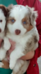 Miniature Australian Shepherd Red Merle