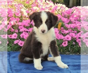 Miniature Australian Shepherd Puppy for sale in STRASBURG, PA, USA