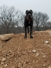 Cane Corso Dog For Adoption in IMPERIAL, MO, USA