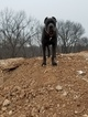 Cane Corso Dog For Adoption near 63052, Imperial, MO, USA
