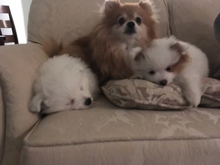 Pomeranian Puppy for sale in CHAMPAIGN, IL, USA