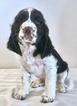 Small #5 English Springer Spaniel